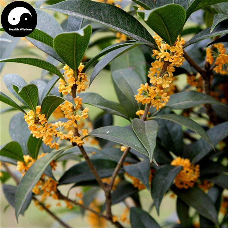 Buy Sweet Scented Osmanthus Tree Seeds 60pcs Plant Chinese Fragrance Jin Gui