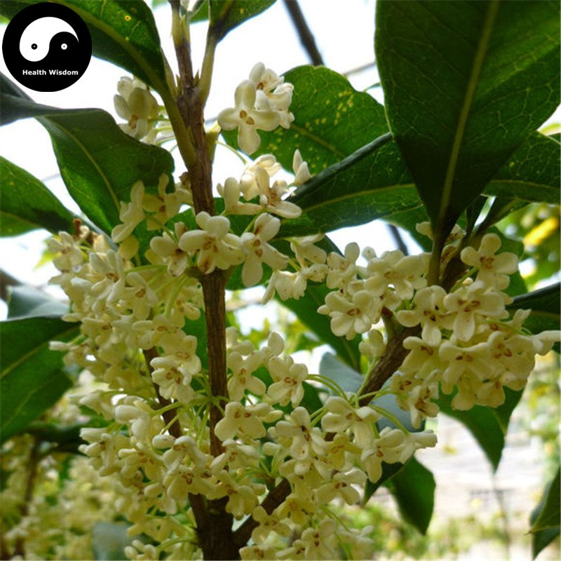 Buy Sweet Scented Osmanthus Tree Seeds 120pcs Plant Chinese Fragrance Yin Gui