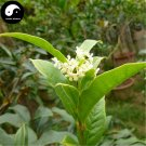 Buy Sweet Scented Osmanthus Tree Seeds 30pcs Plant Chinese Fragrance Yin Gui