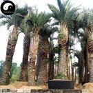 Buy Butia Capitata Tree Seeds 24pcs Plant Chinese Butia Capitata Bu Di Ye Zi