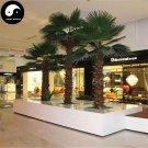 Buy Washingtonia Filifera Tree Seeds 60pcs Plant Chinese Lao Ren Kui