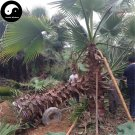 Buy Washingtonia Filifera Tree Seeds 30pcs Plant Chinese Lao Ren Kui