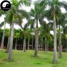 Buy Roystonea Regia Tree Seeds 80pcs Plant Chinese Evergreen Tree Da Wang Ye