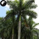 Buy Roystonea Regia Tree Seeds 20pcs Plant Chinese Evergreen Tree Da Wang Ye