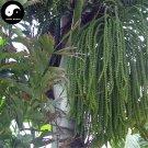 Buy Caryota Ochlandra Tree Seeds 80pcs Plant Chinese Evergreen Tree Caryota