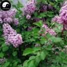 Buy Early Lilac Tree Seed 240pcs Plant Chinese Syringa Oblata Tree Zi Ding Xiang