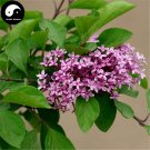 Buy Early Lilac Tree Seed 120pcs Plant Chinese Syringa Oblata Tree Zi Ding Xiang