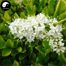 Buy Manchurian Lilac Tree Seeds 60pcs Plant Chinese Syringa Reticulata Tree