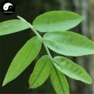 Buy Cyclocarya Paliurus Tree Seeds 60pcs Plant Chinese Herb Tea Hypoglycemic