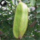 Buy Afzelia Xylocarpa Tree Seeds 12pcs Plant Ficus Religiosa Bodhi Tree Puti