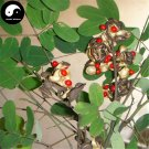 Buy Red Beans Tree Seeds 80pcs Plant Coral Pea Tree Adenantherapavonlna Hong Dou