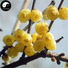 Buy Winter Sweet Prunus Mume Tree Seeds 120pcs Plant Yellow Plum Blossom La Mei