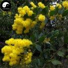 Buy Sweet Acacia Tree Seeds 60pcs Plant Acacia Farnesiana Sponge Tree He Huan