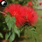 Buy Albizia Julibrissin Tree Seeds 60pcs Plant Silk Tree Siris Acacia Sponge