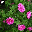 Buy Red Thorn Rosa Rugosa Tree Seeds 240pcs Plant Rosa Multifloravar Ci Mei