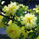 Buy Yellow Thorn Rosa Rugosa Tree Seeds 240pcs Plant Rosa Multifloravar Ci Mei