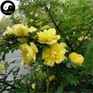 Buy Yellow Thorn Rosa Rugosa Tree Seeds 120pcs Plant Rosa Multifloravar Ci Mei