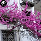 Buy MeiCercis Chinensis Tree Seeds 100pcs Plant Bauhinia Zi Jing Flower Tree