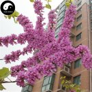 Buy MeiCercis Chinensis Tree Seeds 50pcs Plant Bauhinia Zi Jing Flower Tree