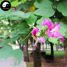 Buy Bauhinia Tree Seeds 120pcs Plant Bauhinia Blakeana Dunn Zi Jing Flower Tree