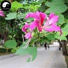 Buy Bauhinia Tree Seeds 60pcs Plant Bauhinia Blakeana Dunn Zi Jing Flower Tree