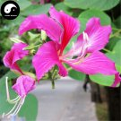 Buy Bauhinia Tree Seeds 30pcs Plant Bauhinia Blakeana Dunn Zi Jing Flower Tree