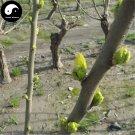 Buy Morus Alba Tree Seeds 100pcs Plant Mulberry Leaf For Silkworm Food Sang Shu