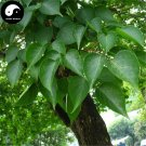 Buy Bischofia Polycarpa Tree Seeds 120pcs Plant Java Bishopwood Chong Yang Mu