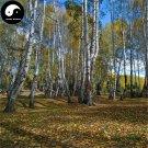 Buy White Birch Tree Seeds 400pcs Plant Betula Platyphylla Suk Bai Hua Shu