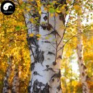 Buy White Birch Tree Seeds 100pcs Plant Betula Platyphylla Suk Bai Hua Shu
