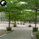 Buy Terminalia Mantaly Tree Seeds 30pcs Plant Madagascar Almond Tree