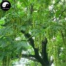 Buy Pterocarya Stenoptera Tree Seeds 200pcs Plant Pterocarya Feng Yang Tree