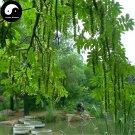 Buy Pterocarya Stenoptera Tree Seeds 100pcs Plant Pterocarya Feng Yang Tree