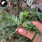 Buy Cephalotaxus Fortunei Tree Seeds 16pcs Plant Cedar Fortune Plumyew Tree
