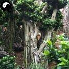 Buy Ficus Concinna Tree Seeds 50pcs Plant Ficus Benjamina Tree Xiao Ye Rong