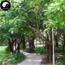 Buy Ficus Altissima Tree Seeds 200pcs Plant Ficus Altissima Tree Da Ye Rong