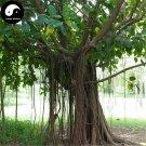 Buy Ficus Altissima Tree Seeds 100pcs Plant Ficus Altissima Tree Da Ye Rong