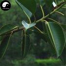 Buy Ficus Altissima Tree Seeds 50pcs Plant Ficus Altissima Tree Da Ye Rong