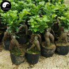 Buy Ficus Microcarpa Tree Seeds 100pcs Plant Roots Ginseng Ficus Bonsai