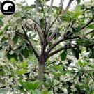 Buy Elaeocarpus Decipiens Tree Seeds 120pcs Plant Elaeocarpus Sylvestris Du Ying