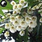 Buy Elaeocarpus Decipiens Tree Seeds 60pcs Plant Elaeocarpus Sylvestris Du Ying