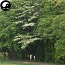 Buy Bothrocaryum Controversum Tree Seeds 200pcs Plant Cornus Controversa Tree