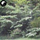 Buy Bothrocaryum Controversum Tree Seeds 100pcs Plant Cornus Controversa Tree