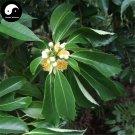 Buy Schima Superba Tree Seeds 30pcs Plant Schima Tree Mu He Shu