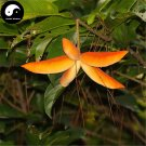 Buy Sterculia Nobilis Smith Tree Seeds 20pcs Plant Fruit Tree Chinese Ping Po