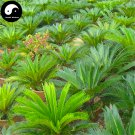 Buy Cycas Revoluta Tree Seeds 2pcs Plant Iron Tree Chinese Cycas Tie Shu
