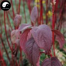 Buy Swida Alba Opiz Tree Seeds 30pcs Plant Cornus Alba Tree Hong Rui Mu