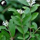 Buy Ligustrum Obtusifolum Tree Seeds 30pcs Plant Shrubs Tree Shui La