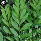 Buy Ligustrum Obtusifolum Tree Seeds 60pcs Plant Shrubs Tree Shui La