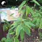 Buy Dancing Grass Seeds 40pcs Plant Shrubs Tree Codariocalyx Motorius